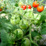 Growing Broccoli and Cherry Tomatoes