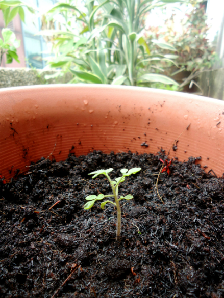 cherry tomato seedling