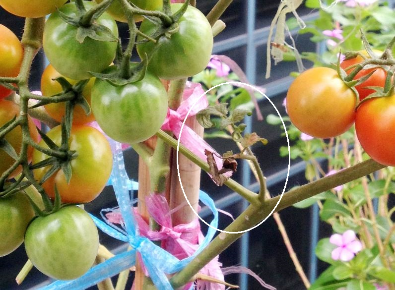 """Sucker"" in tomato plants."