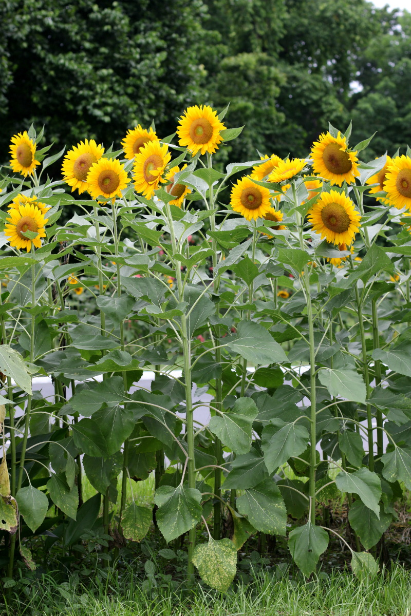 Sunflowers at UP Diliman (3)