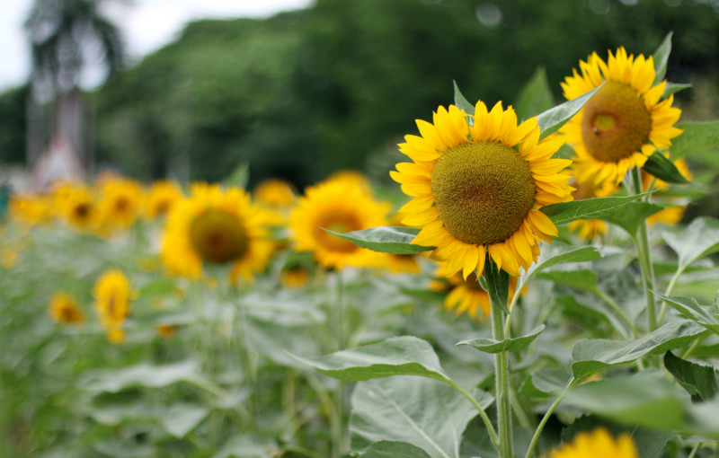Sunflowers and Rain Showers at UP Diliman