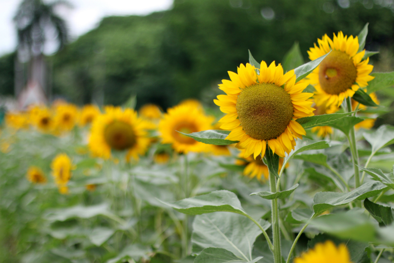 Sunflowers at UP Diliman (6)