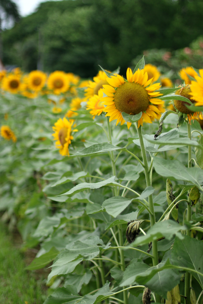 Sunflowers at UP Diliman (7)