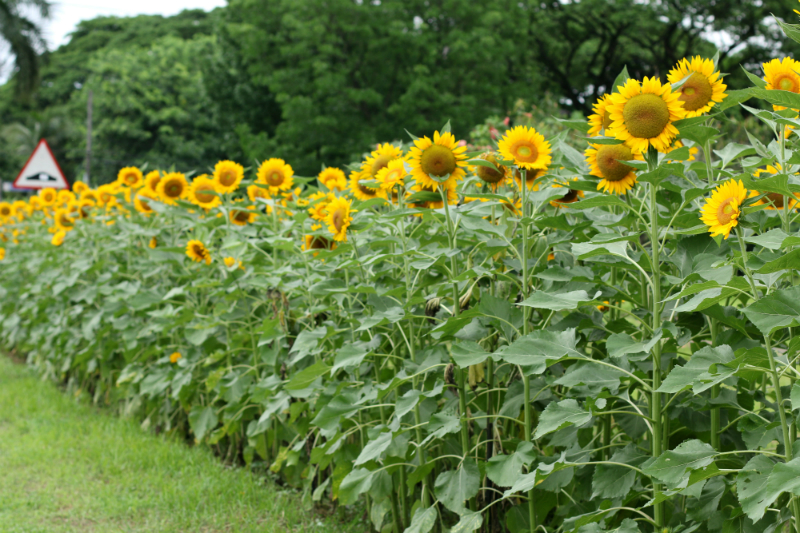 Sunflowers at UP Diliman (8)
