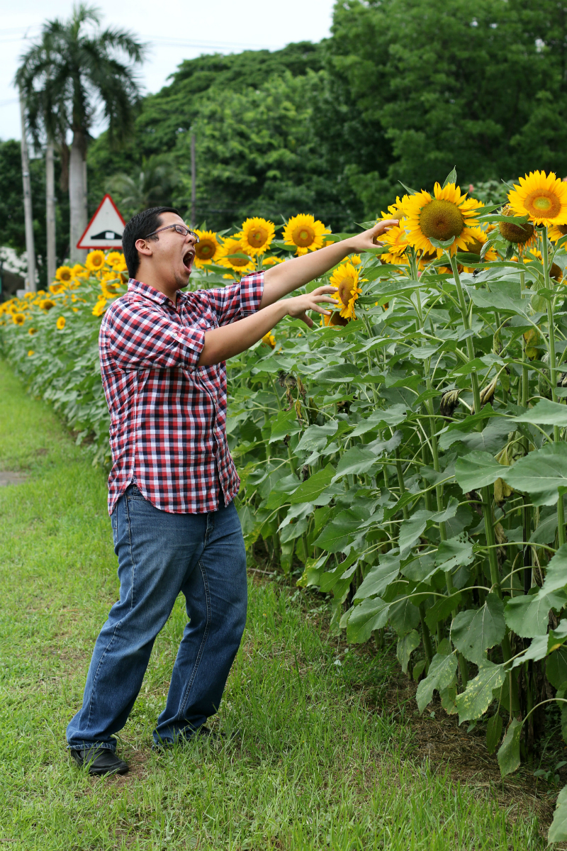 Sunflowers at UP Diliman (9)