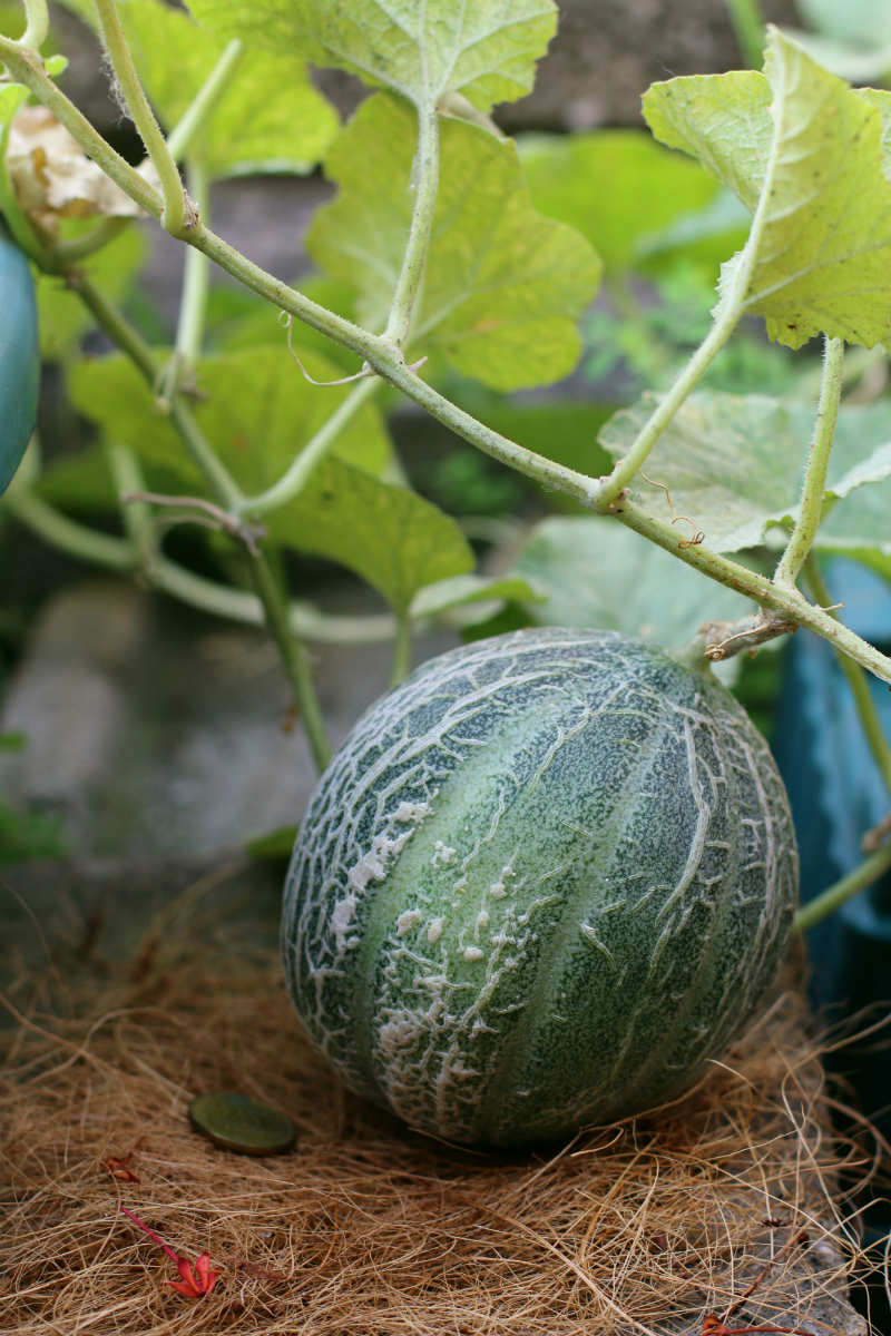 how to grow melons (11) - Copy