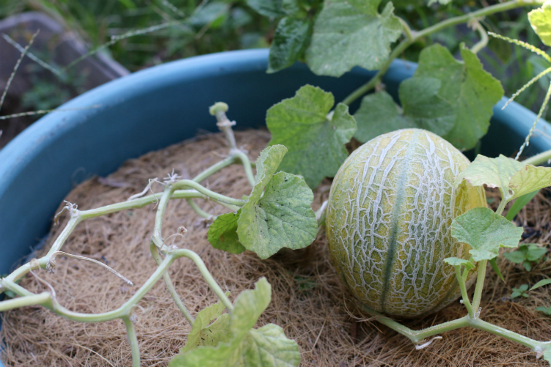 how to grow melons (13) - Copy