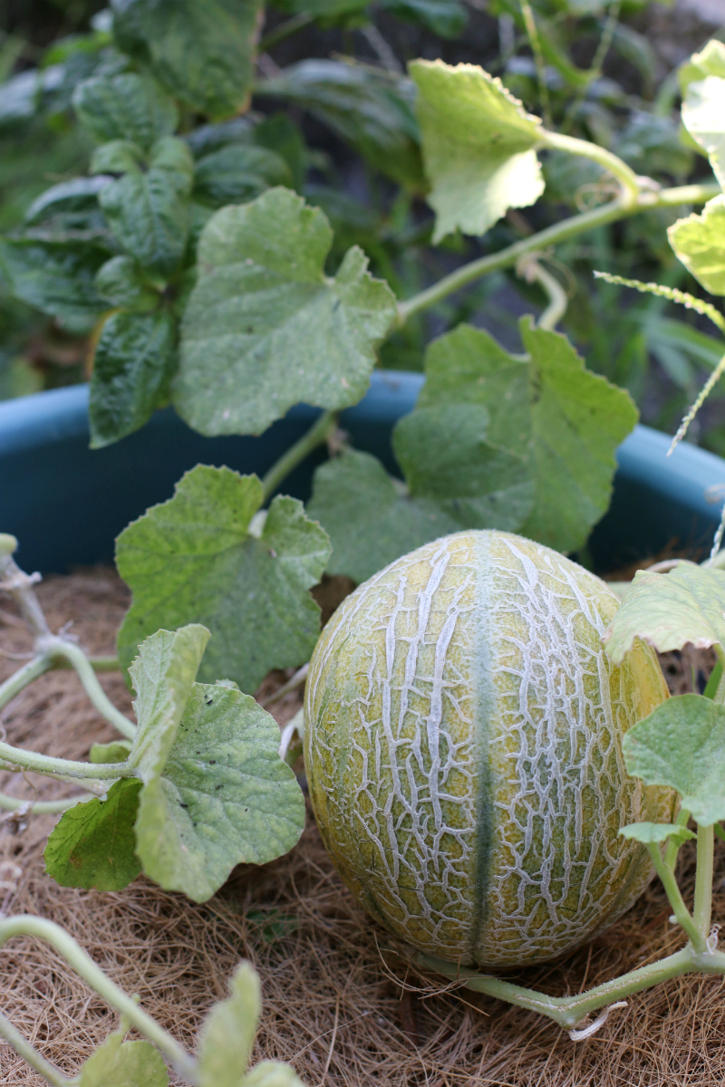 how to grow melons (14) - Copy
